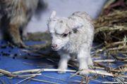 Коза камерунка – мініатюрна красуня,  талісман року